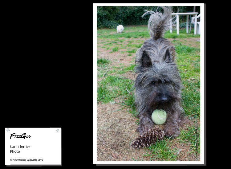 FizzGig the Cairn Terrier dog in a play bow photo portrait