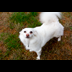Maggie Mouse the American Eskimo dog photo portrait